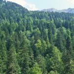 Bosque templado, abetal