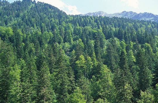 Bosque templado abetal vallederoncal for Caracteristicas de arboles frondosos